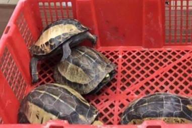 Công an Hà Nội tạm giữ hình sự đối tượng buôn bán rùa quý hiếm