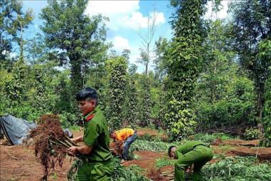 Khẩn trương điều tra, xử lý vụ trồng cần sa lớn nhất từ trước đến nay tại Đắk Lắk